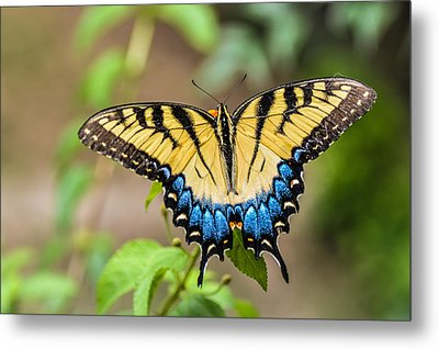 Yellow Tiger Swallowtail Metal Print by Debbie Green