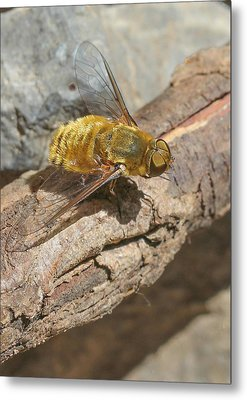 Metal Print featuring the photograph Yellow True Bee Fly - Bombiliinae by Jivko Nakev