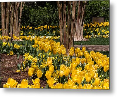 Yellow Tulip Pathway Metal Print
