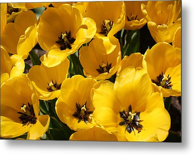 Metal Print featuring the photograph Golden Tulips In Full Bloom by Dora Sofia Caputo Photographic Art and Design