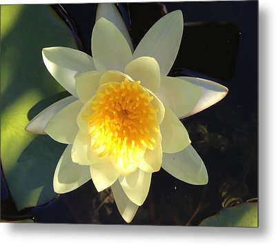 Yellow Water Lily Metal Print by Pema Hou