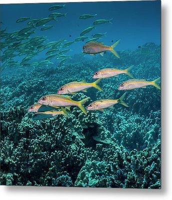 Yellowfin Goatfish  Mulloidichthys Metal Print