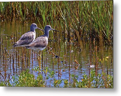 Metal Print featuring the photograph Yellowlegs Of Texas by Gary Holmes