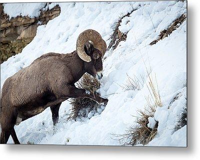 Yellowstone Bighorn Metal Print