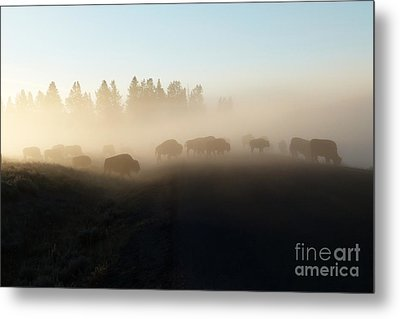 Yellowstone Bison In Early Morning Fog Metal Print by Bob and Nancy Kendrick