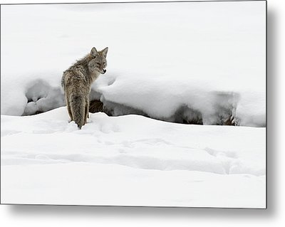Yellowstone Coyote Metal Print