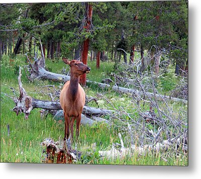Yellowstone Moments. Doe Metal Print by Ausra Huntington nee Paulauskaite