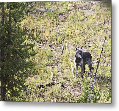 Metal Print featuring the photograph Yellowstone Wolf by Belinda Greb