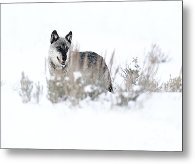 Yellowstone Wolf Metal Print