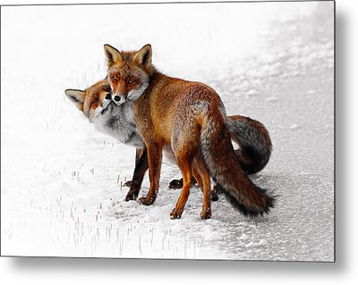 Yin Yang _ Red Fox Love Metal Print
