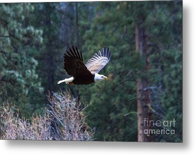 Yosemite Bald Eagle Metal Print