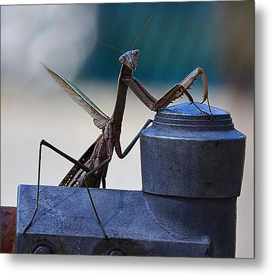 You Looking At Me - Pray Mantis Metal Print by Kathy Eickenberg