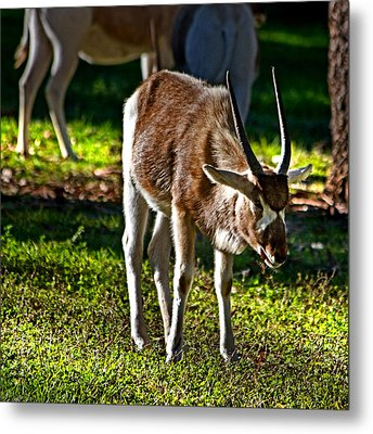 Youngster Addax Metal Print by Miroslava Jurcik