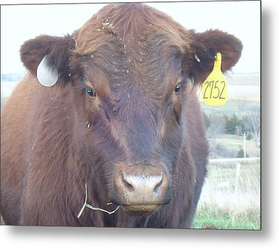 Metal Print featuring the photograph Young Angus by J L Zarek