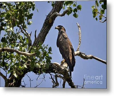 Young Bald Eagle Metal Print by Nava Thompson