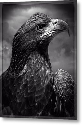 Young Bald Eagle V4 Metal Print by F Leblanc