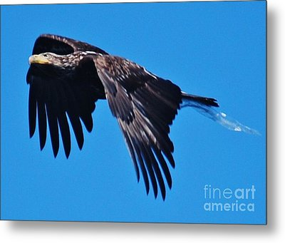 Young Bald Eagle Metal Print by William Wyckoff