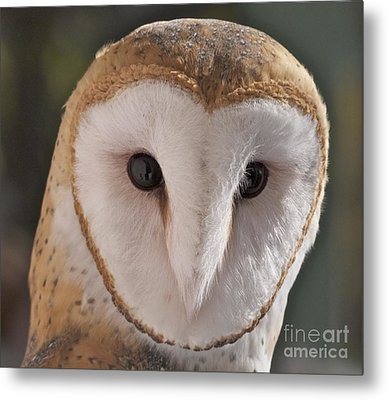 Young Barn Owl Metal Print by K L Kingston