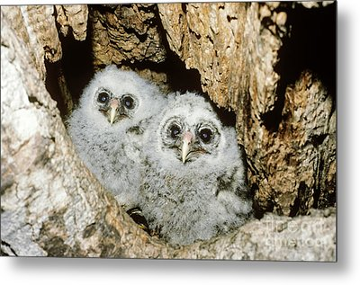 Young Barred Owls In Nest Snag Metal Print by Jim Zipp