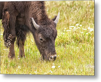 Metal Print featuring the photograph Young Bison by Belinda Greb