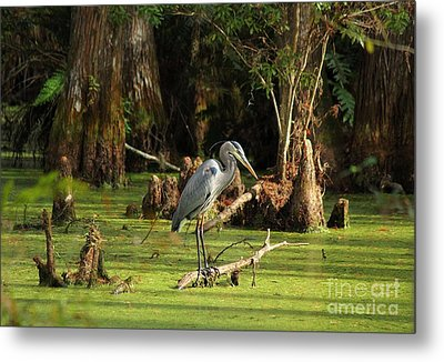 Young Blue Heron Metal Print by Theresa Willingham