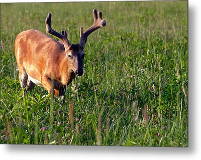 Young Buck Metal Print by Eleanor Abramson