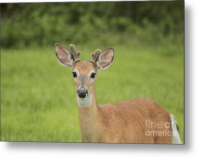 Young Buck With Velvety Antlers Metal Print by Jim Lepard
