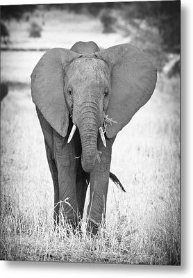 Young Bull Elephant Metal Print by Adam Romanowicz