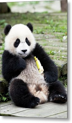 Young Captive Giant Panda Eating Bamboo Metal Print
