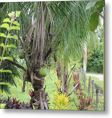 Young Coconut Tree Metal Print by Cyril Maza