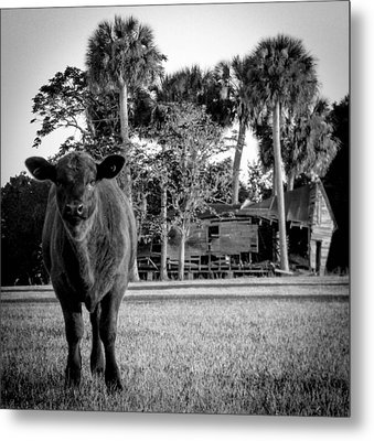 Young Cow Old Barn Metal Print by Christy Usilton