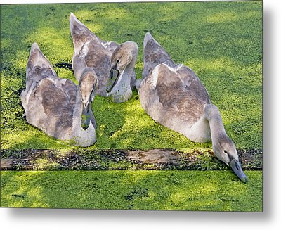 Young Cygnets Metal Print