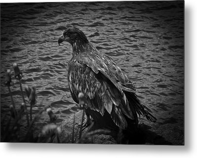 Metal Print featuring the photograph Young Eagle Bw by Timothy Latta