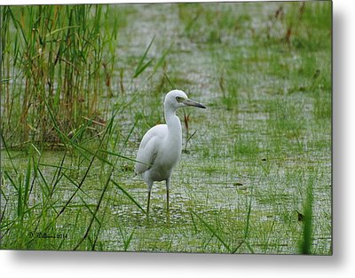 Juvenile Little Blue Heron At Willow Pond Metal Print by Dan Williams