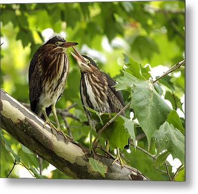 Metal Print featuring the photograph Young Green Herons by David Lester