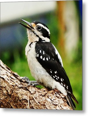 Metal Print featuring the photograph Young Hairy Woodpecker by VLee Watson