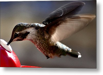 Metal Print featuring the photograph Young Hummingbird Male Anna by Jay Milo