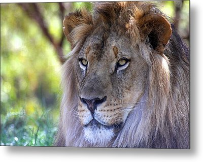 Young King In The Morning Metal Print by Ruth Jolly