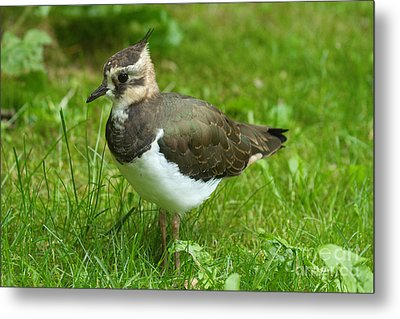 Young Lapwing Metal Print by Helmut Pieper