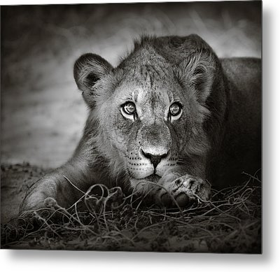 Young Lion Portrait Metal Print by Johan Swanepoel