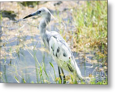 Young Little Blue Heron Metal Print by Theresa Willingham