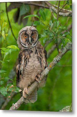 Young Long-eared Owl Metal Print by Janne Mankinen