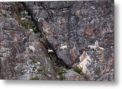 Young Mountain Goat Jumps Metal Print by June Jacobsen