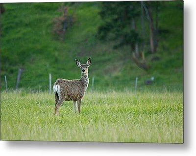 Young Mule Deer Metal Print by Eti Reid