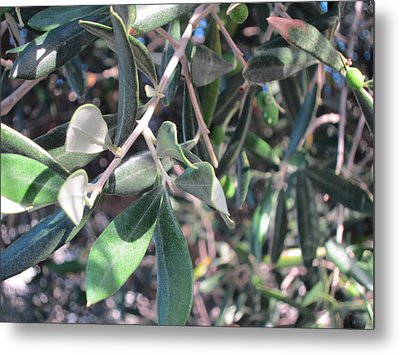 Young Olives Metal Print by Pema Hou