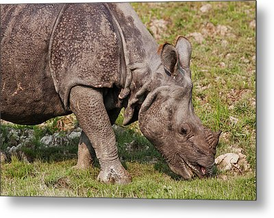 Young One-horned Rhinoceros Feeding Metal Print