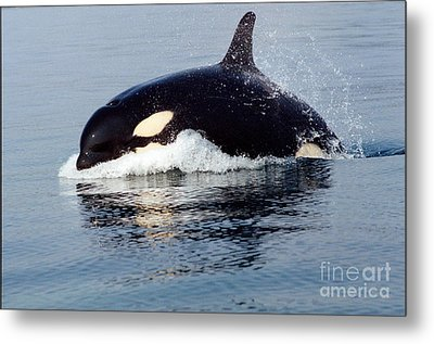 Metal Print featuring the photograph Young Orca Off The San Juan Islands Washington 1986 by California Views Mr Pat Hathaway Archives
