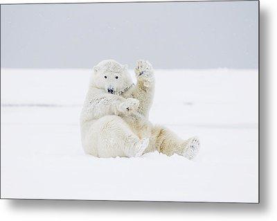 Young Polar Bear Boar Rolling Metal Print by Steven Kazlowski