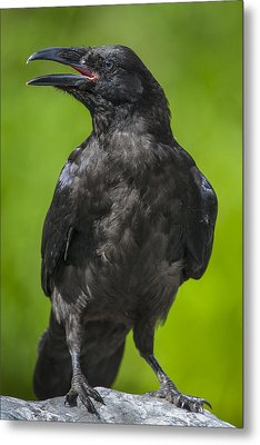Young Raven Metal Print by Tim Grams