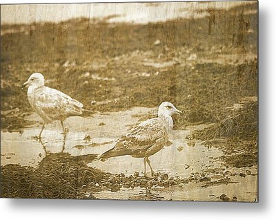 Young Seagulls On Harwich Cape Cod Beach Metal Print by Suzanne Powers